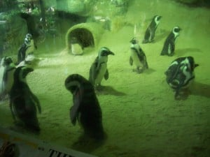 Humbolt Penguins from Singapore Zoo (2006)